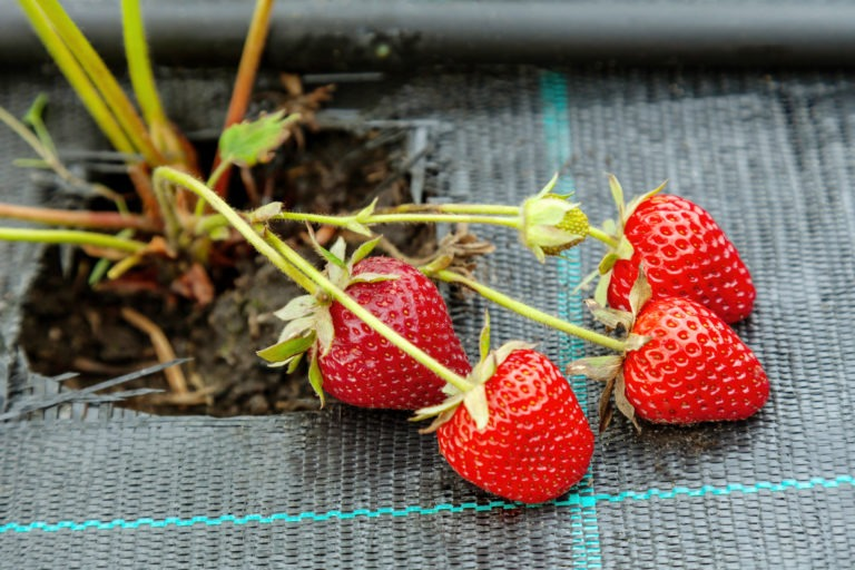 Growing,Strawberries,On,Black,Textile,With,Drip,Watering,,Bed,Covered