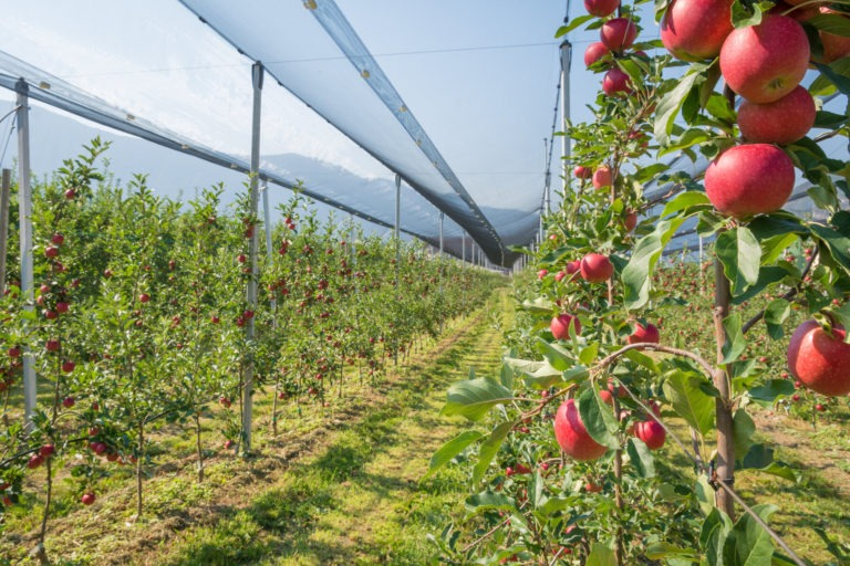 Intensive,Fruit,Production,Or,Orchard,With,Crop,Protection,Nets,In